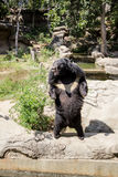 Standing. Bears or bears, Asiatic black bear is one of the two species found in Thailand Royalty Free Stock Image