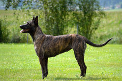 Standing big dog Royalty Free Stock Photography