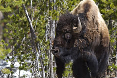 Standing Bison Stock Images