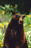 Standing Black Bear. A big cinnamon color phased black bear standing on its hind legs Royalty Free Stock Photography