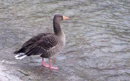 Standing black goose Stock Images
