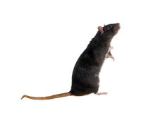 Standing black rat. Portrait of a standing black rat on a white background Royalty Free Stock Photo