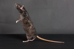 Standing black rat Stock Image