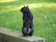 Standing Black Squirrel. A black squirrel stands up to show its belly royalty free stock images