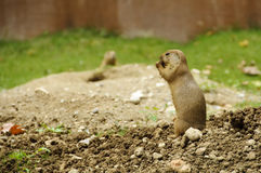 Standing black-tailed prairie dog royalty free stock photography