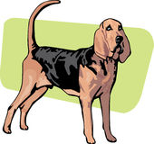 Standing bloodhound breed dog Stock Image
