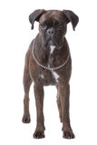 Standing boxer dog stock photo