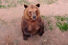 Standing brown bear Royalty Free Stock Image