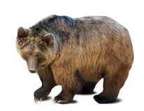 Standing brown bear over white Stock Photos