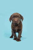 Standing brown chocolate labrador retriever puppy walking towards the camera Royalty Free Stock Photos