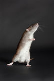 Standing brown domestic rat. Brown domestic rat on a black background Stock Image