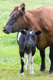 Standing brown mother cow with black and white calf Stock Photos
