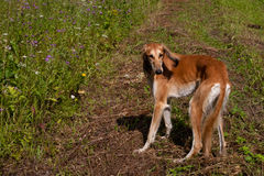 Standing brown saluki Stock Photography