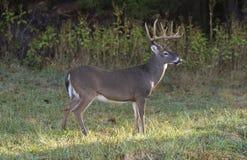 Free Standing Buck Deer Stock Image - 87754201