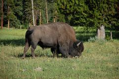 Standing buffalo (bison) feeding on grass Royalty Free Stock Images