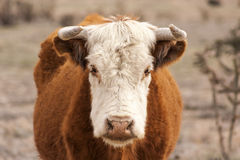 Standing bull. In horizontal format Royalty Free Stock Image