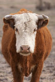 Standing bull. In vertical format Royalty Free Stock Photography