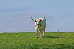 Standing Bull. White Bull Starring at me Royalty Free Stock Photography