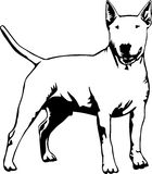 Standing bull terrier. A vector illustration of a black and white bull terrier Royalty Free Stock Photo