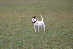 Standing bull terrier in the garden. Funny bull terrier is standing in the park Royalty Free Stock Images