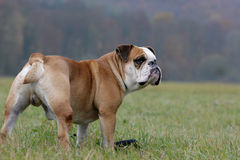 Standing bulldog Royalty Free Stock Photos
