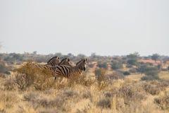 3 standing Burchell`s zebra in the grasslands in Kalahari desert. 3 standing Burchell`s zebra in the grasslands near Kalahari Anib lodge in Kalahari desert Stock Photo