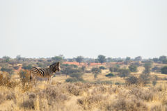 Standing Burchell`s zebra in the grasslands Royalty Free Stock Photography