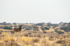 Standing Burchell`s zebra in the grasslands Royalty Free Stock Images