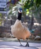 Cackling goose in farm Royalty Free Stock Photo