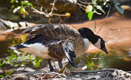 Cackling goose Royalty Free Stock Photos