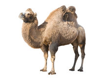Standing camel. Profile of Bactrian camel isolated over white Stock Photo
