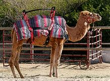 Standing camel with colorful blanket and riding seat Stock Photos