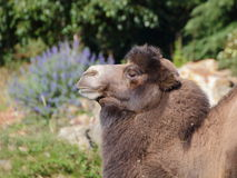 Standing camel side portrait Royalty Free Stock Photo