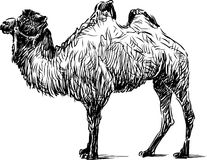 Standing camel Stock Image