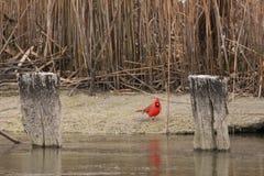 Standing cardinal na areia imagem de stock