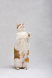 Standing cat royalty free stock photo