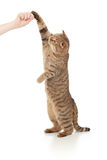 Standing cat  eating food from hand Stock Photography