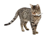 Standing cat. Standing tabby cat against a white background Royalty Free Stock Photo