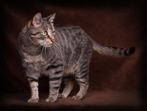 Standing Cat. Tiger Cat stand in Front of a brown background Royalty Free Stock Image