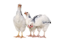 Standing chickens. Chickens is standing and looking. Isolated on a white background royalty free stock photo