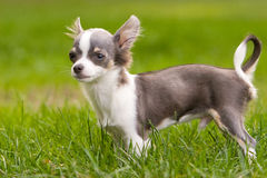 Standing Chihuahua. Pet Chihuahua dog standing in grass Stock Photo