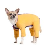 Standing chihuahua doggy in snow suit Royalty Free Stock Photo