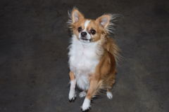 Standing chihuahua Stock Photography