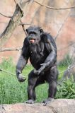 Standing chimp2 Royalty Free Stock Image