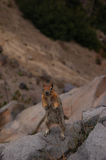 Standing chipmunk Stock Photography