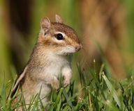 Standing Chipmunk Royalty Free Stock Photography