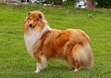 Standing collie dog Stock Photo