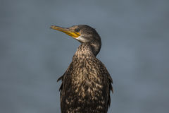 Standing Cormorant. Grace sea bird standing with eye contact Stock Photos
