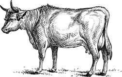 Standing Cow Stock Photos
