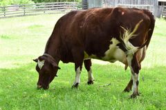 Standing cow grazing. Brown cow with heart on his head grazing on green grass royalty free stock photography